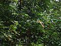 Cinnamomum ¿ malabatrum ? (8150116656).jpg