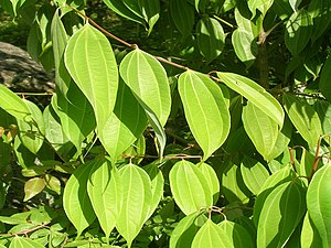 Cinnamon - Leaves from a wild cinnamon tree