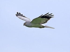 Hen harrier - Adult male