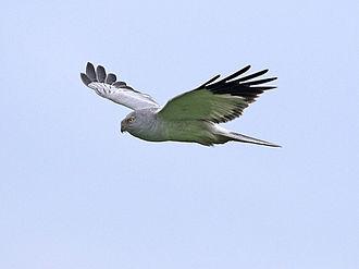 Hen harrier - Adult male