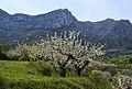 Cirerers amb flor amb la serra de la Foradada al fons, la Vall de Gallinera.JPG