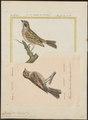 Citrinella provincialis - 1700-1880 - Print - Iconographia Zoologica - Special Collections University of Amsterdam - UBA01 IZ16100275.tif