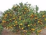 Citrus unshiu 20101127 d.jpg