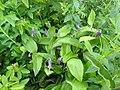 Clematis albicoma hybrid - Flickr - peganum (4).jpg