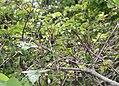 Clematis japonica s9.jpg