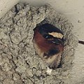 Cliff Swallow (40837656615).jpg