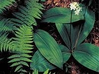 Clintonia umbellulata FWS-4x3.jpg