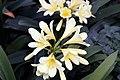 Clivia miniata 15zz.jpg
