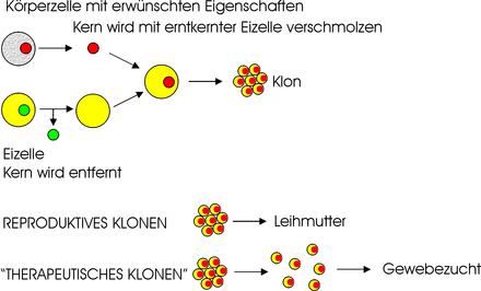 Geschichte der adulten Stammzellenforschung