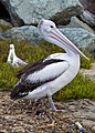 Clontarf Pelican waiting for dinner-2 (4647202584).jpg
