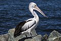 Clontarf Pelican waiting for food-04 (7833479452).jpg