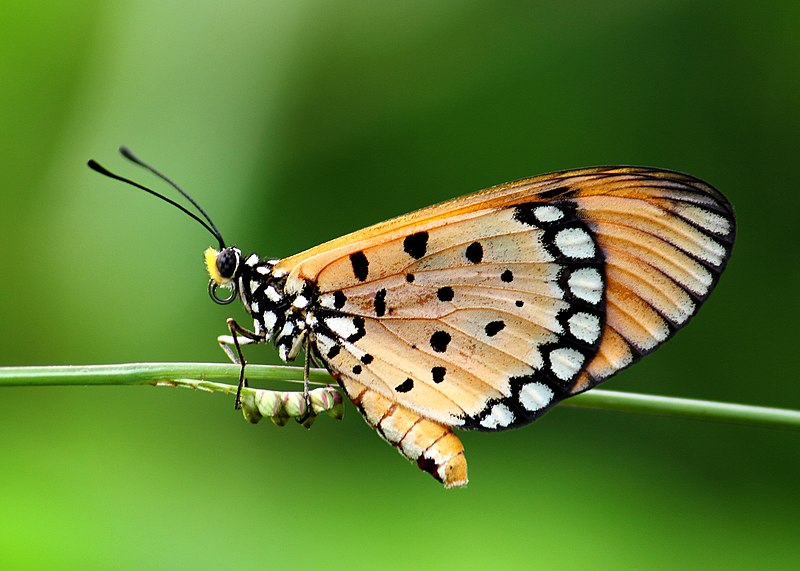 Bộ sưu tập cánh vẩy 4 - Page 43 800px-Close_wing_position_of_Acraea_violae_Fabricius%2C_1775-1793_-_Tawny_Coster_WLB