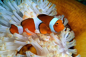 Houston Zoo - Image: Clownfish Houston Zoo