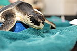 Coast Guard gives endangered sea turtles lift home DVIDS349045.jpg