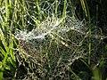 Cobweb on my Lawn - geograph.org.uk - 1012437.jpg