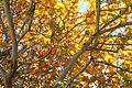 Coccoloba uvifera yellow leaves 2.JPG