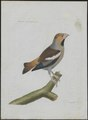 Coccothraustes vulgaris - 1790-1796 - Print - Iconographia Zoologica - Special Collections University of Amsterdam - UBA01 IZ16000303.tif