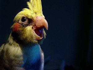 Cockatiel yawning