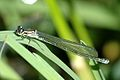 Coenagrion.puella.female.jpg