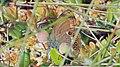 Coenonympha hero - Scarce heath - Сенница боровая (48127304382).jpg