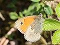 Coenonympha pamphilus 05.JPG