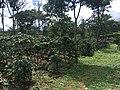 Coffee plantations Bolaven Plateau 03.jpg
