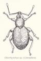 Col-otiorrhynchus-curculion.png