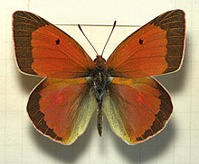 Colias.aurorina.heldreichi.mounted.jpg
