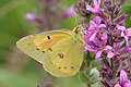 Colias eurytheme outdoors2magic.jpg