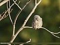 Collared Owlet (Glaucidium brodiei) (26237308148).jpg