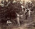 Collectie Nationaal Museum van Wereldculturen TM-60062504 Sinaasappeloogst Jamaica J. Valentine & Sons (Fotostudio).jpg