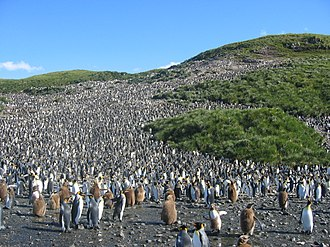 King penguin - Great colony of king penguins on Salisbury Plain in South Georgia