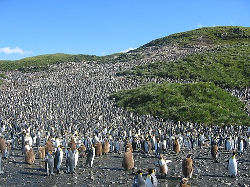 Colony of aptenodytes patagonicus
