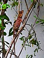 Colour changing camouflage Chameleon on a pomegranate stem for protection- Srilanka.jpg