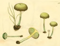 Coloured Figures of English Fungi or Mushrooms - t 162 crop.png