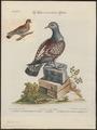 Columba guinea - 1700-1880 - Print - Iconographia Zoologica - Special Collections University of Amsterdam - UBA01 IZ15600201.tif