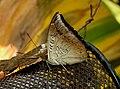Common Baron Euthalia aconthea UN by Dr. Raju Kasambe DSCN9227 (2).jpg