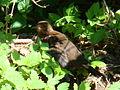 Common Blackbird-Mindaugas Urbonas-2.jpg