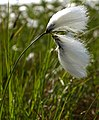 Common Bog Cotton - geograph.org.uk - 841138.jpg