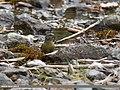 Common Crossbill (Loxia curvirostra), Naltar, Gilgit, Pakistan (39839141623).jpg