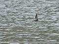 Common Greenshank (Tringa nebularia) (50789098602).jpg