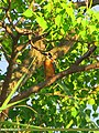 Common Kingfisher (Alcedo atthis) (15271671774).jpg