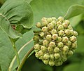 Common Milkweed Asclepias syriaca Unopened Flower Head 2223px.jpg