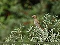 Common Rosefinch (Carpodacus erythrinus) (34005255175).jpg