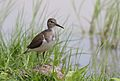 Common Sandpiper, Actitis hypoleucos, Chobe National Park, Botswana (31526998134).jpg