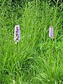 Common Spotted Orchid (detail) - geograph.org.uk - 867083.jpg