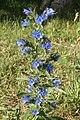 Common Viper's Bugloss (Echium vulgare) - Kitchener, Ontario.jpg