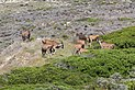 Common elands at Cape of Good Hope 01.jpg