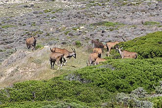 Common eland - Common elands at Cape of Good Hope, South Africa.