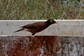 Common myna (Acridotheres tristis) spotted at Madhurawada 02.JPG